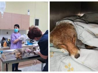 Δεν τα κατάφερε το μικρό αλεπουδάκι που είχαν κρεμάσει ζωντανό, ανάποδα, στη Μητρόπολη Καρδίτσας